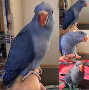 Violet Indian Ringneck for sale - Macaws and Parrots For sale