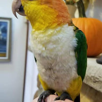 White Bellied Caiques for Sale - Macaws and Parrots For sale