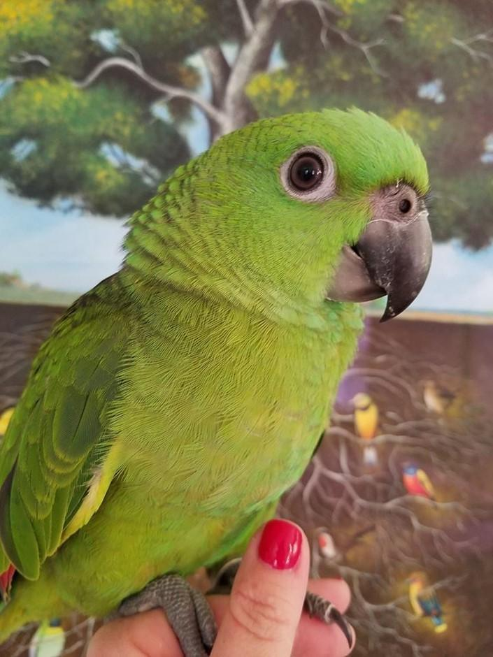 Yellow Naped Amazons For Sale Bird Breeders Store