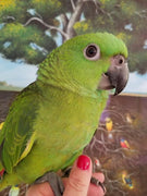 Yellow Naped Amazon for sale - Macaws and Parrots For sale