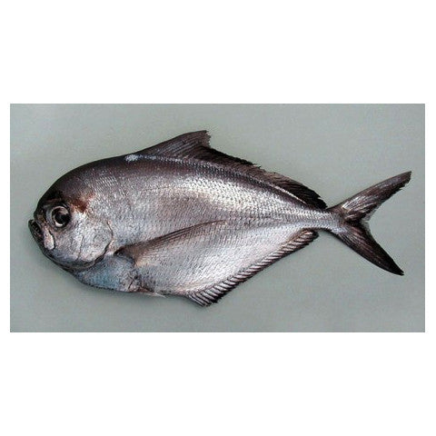 Angel fish 1KG