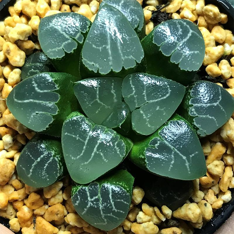 Real Live Succulent Cactus Plant :  Haworthia 'Tsukikage' / 'Moon Shadow'