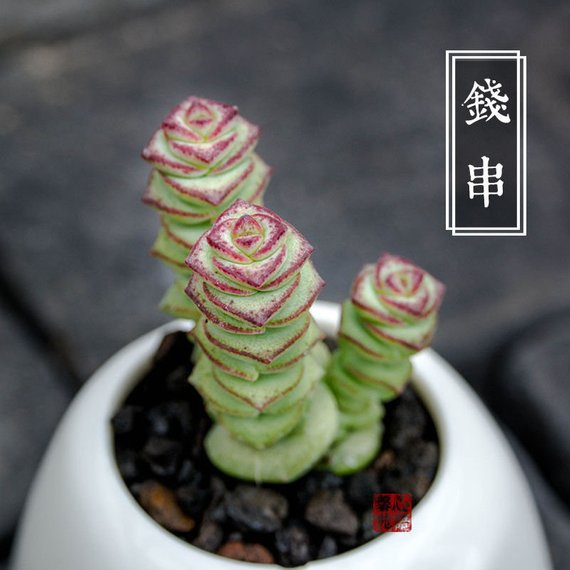 Real Live Succulent Cactus Plant : Crassula 'Jade Necklace'