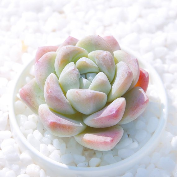 Real Live Succulent Cactus Plant : Echeveria 'Ice green'