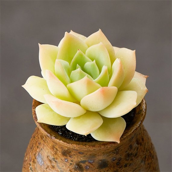Real Live Succulent Cactus Plant : Echeveria fun queen