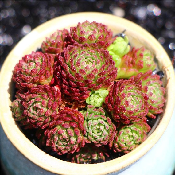 Real Live Succulent Cactus Plant : 'XIAOHEIYI'