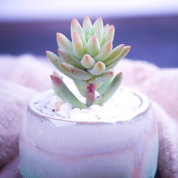 Real Live Succulent Cactus Plant : Sedeveria 'silver Frost'