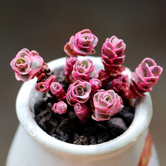 Real Live Succulent Cactus Plant : Sedum spurium cv.'Dragon's Blood
