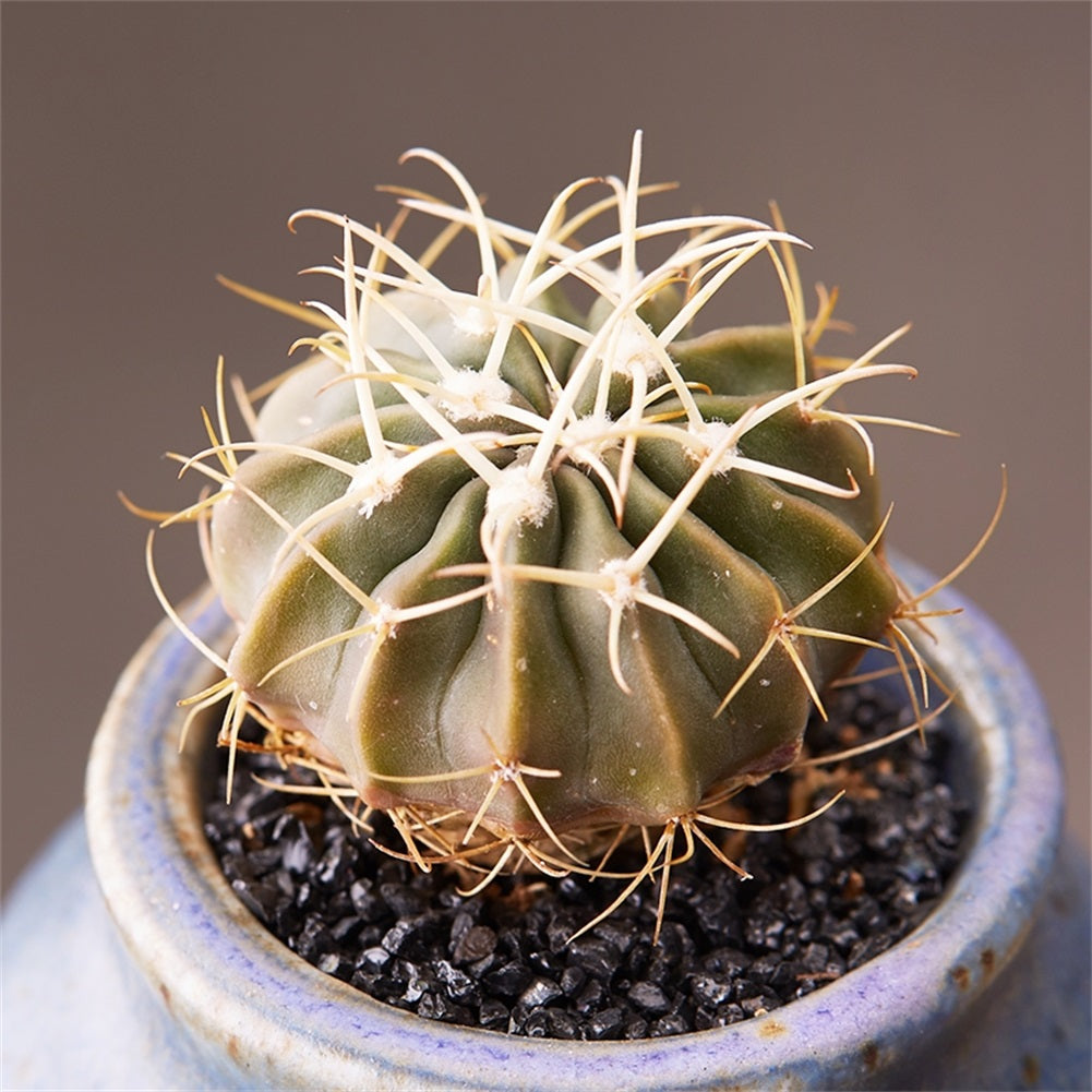 Real Live Succulent Cactus Plant : 'LINGBO'