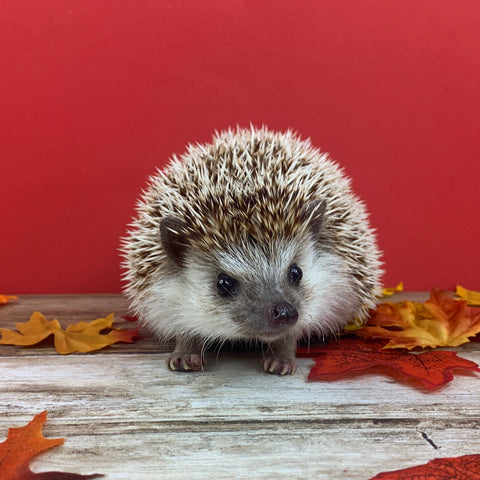 Hedgehogs Don't Need Roommates
