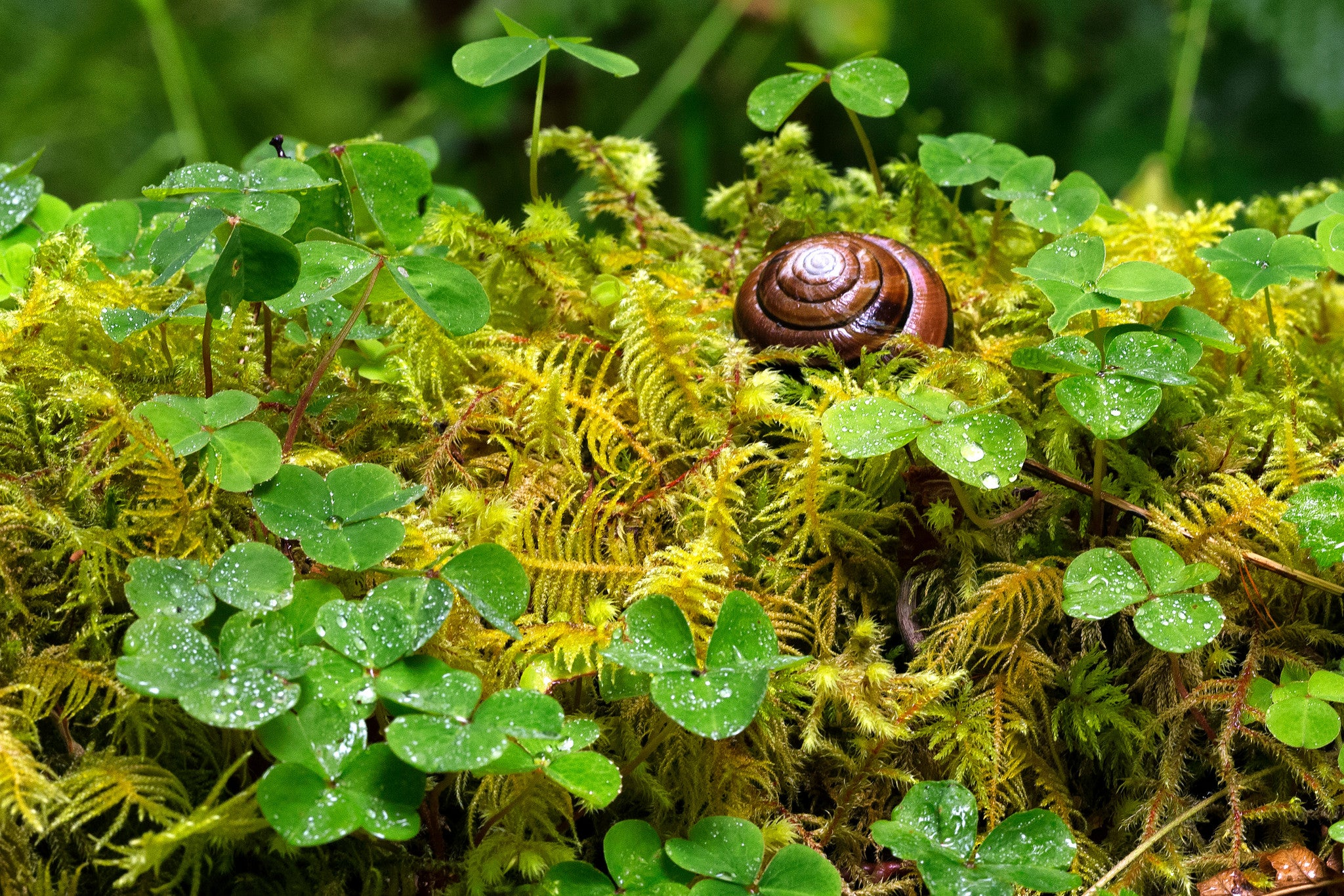 Snail at Rest - Hoh Rain Forest, British Columbia