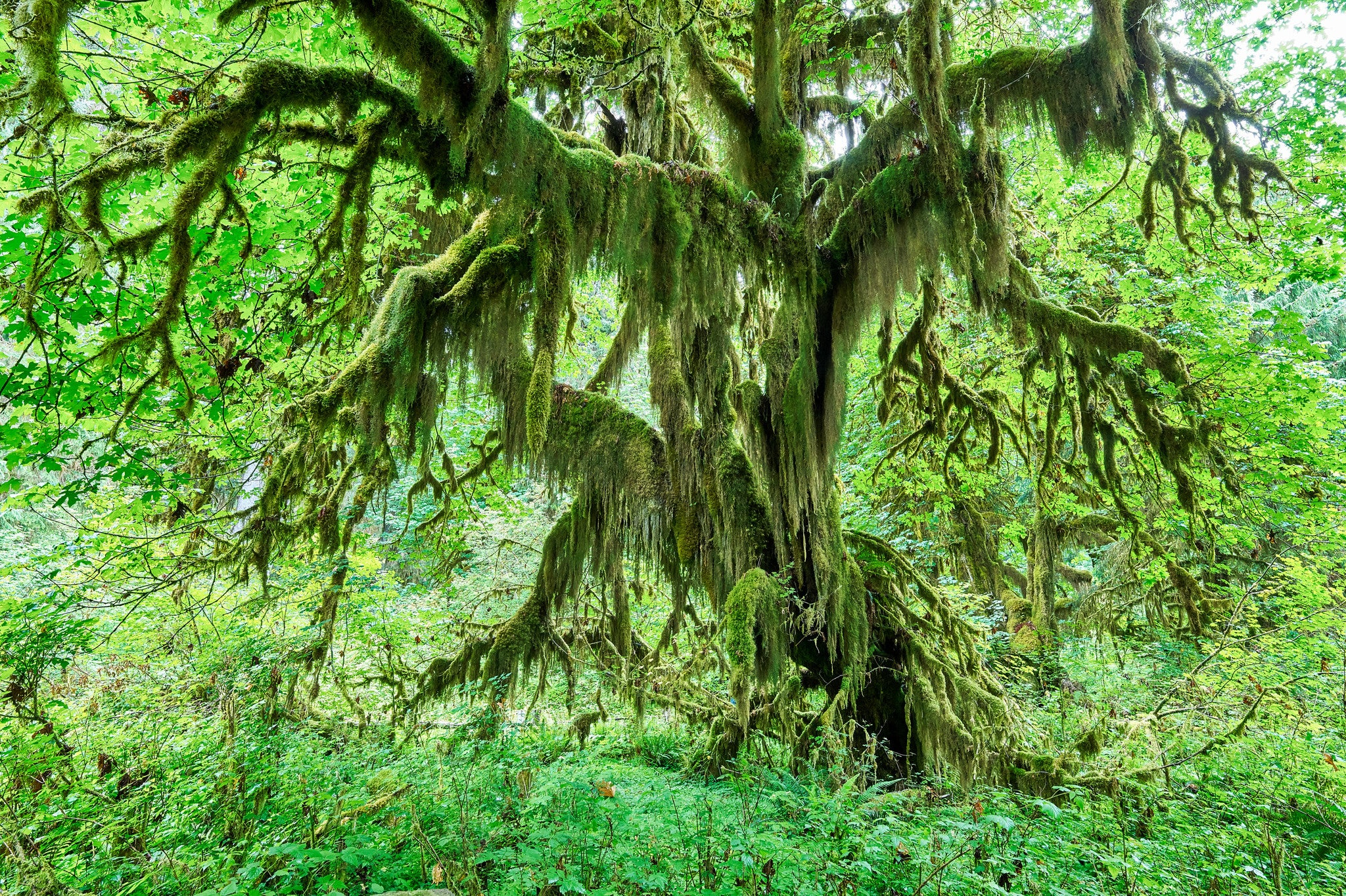 Grandfather Moss Tree - Hoh Rain Forest