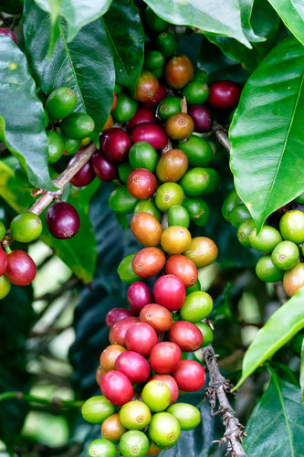 Coffee Harvest Time