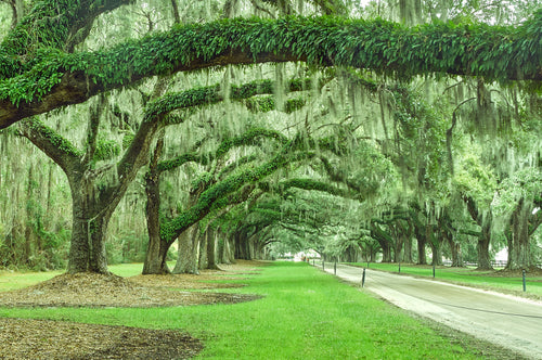 Live Oaks - Mount Pleasant, South Carolina