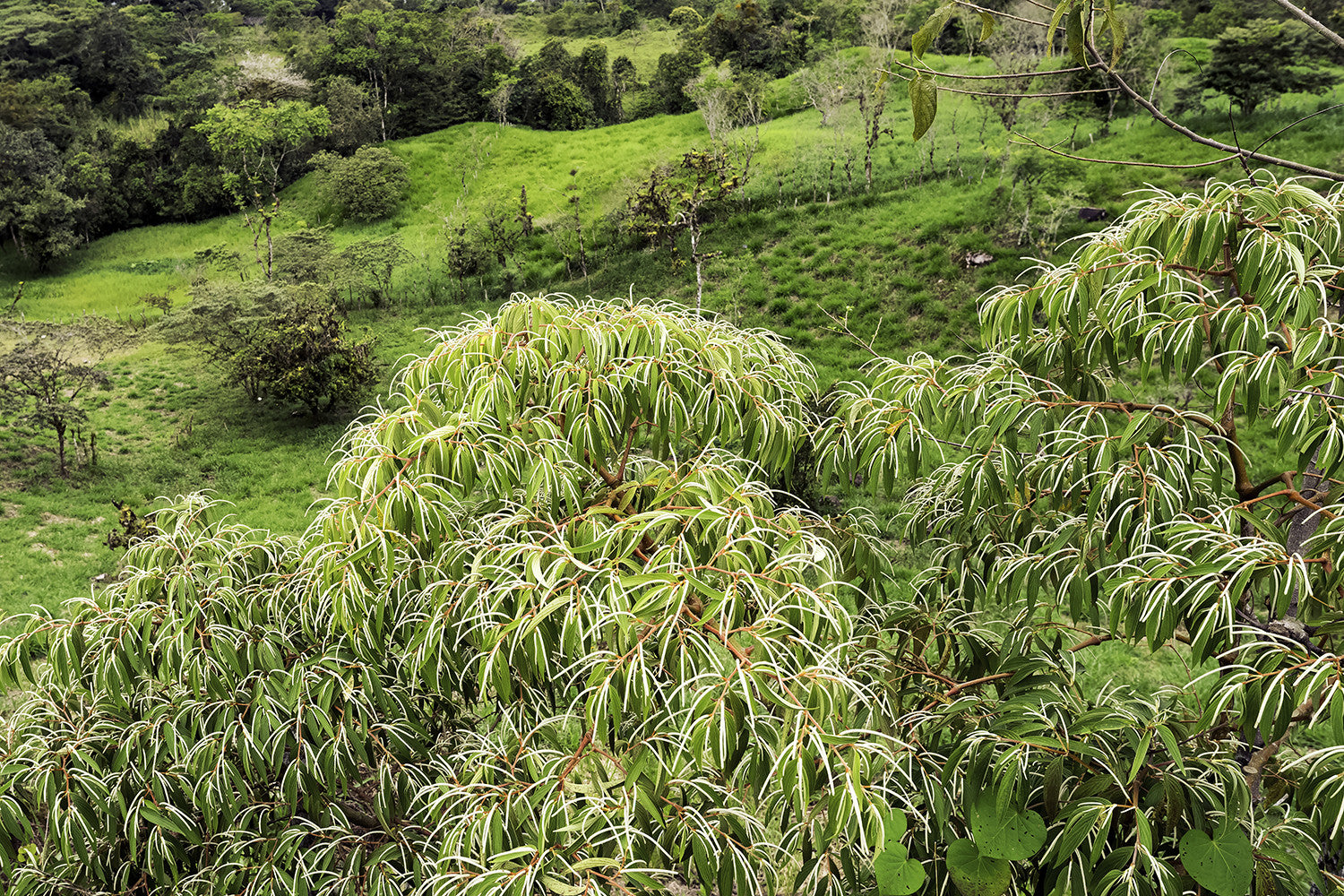 Chiriqui Mountain Foliage