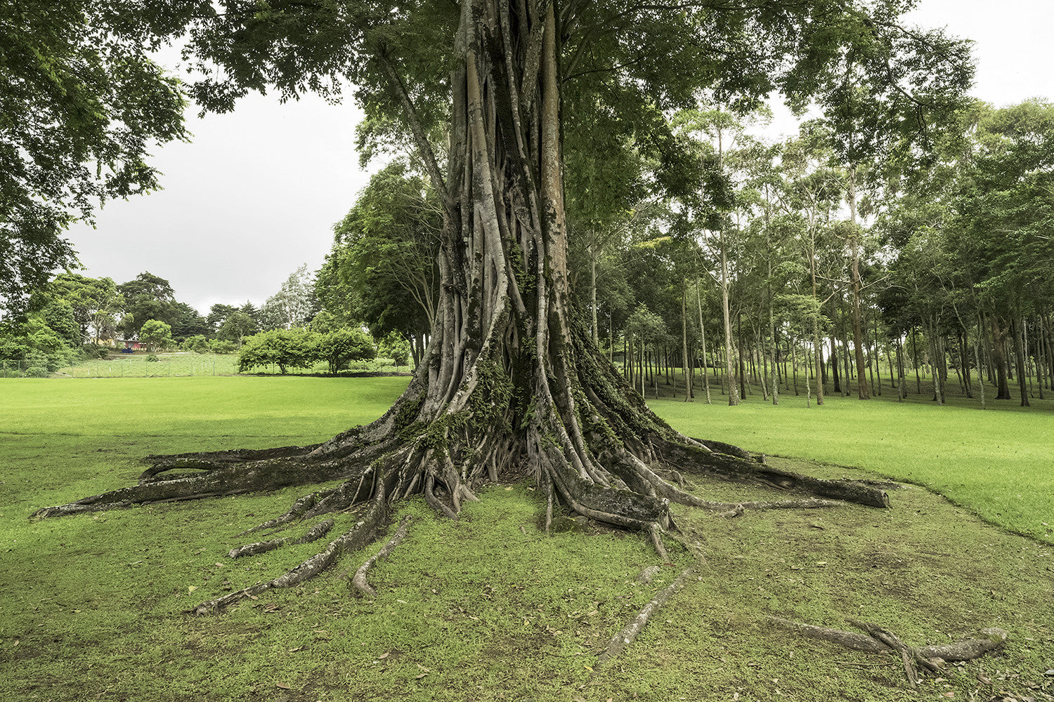 Sprawling Chiriqui Tree