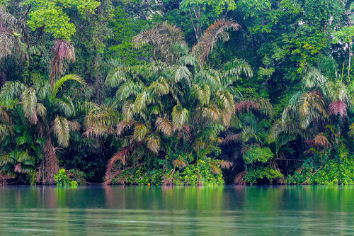 Palms and Jungles at the Rivers Edge - Gamboa Rain Forest Panama
