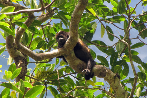 Howler Monkey at Boca Chica