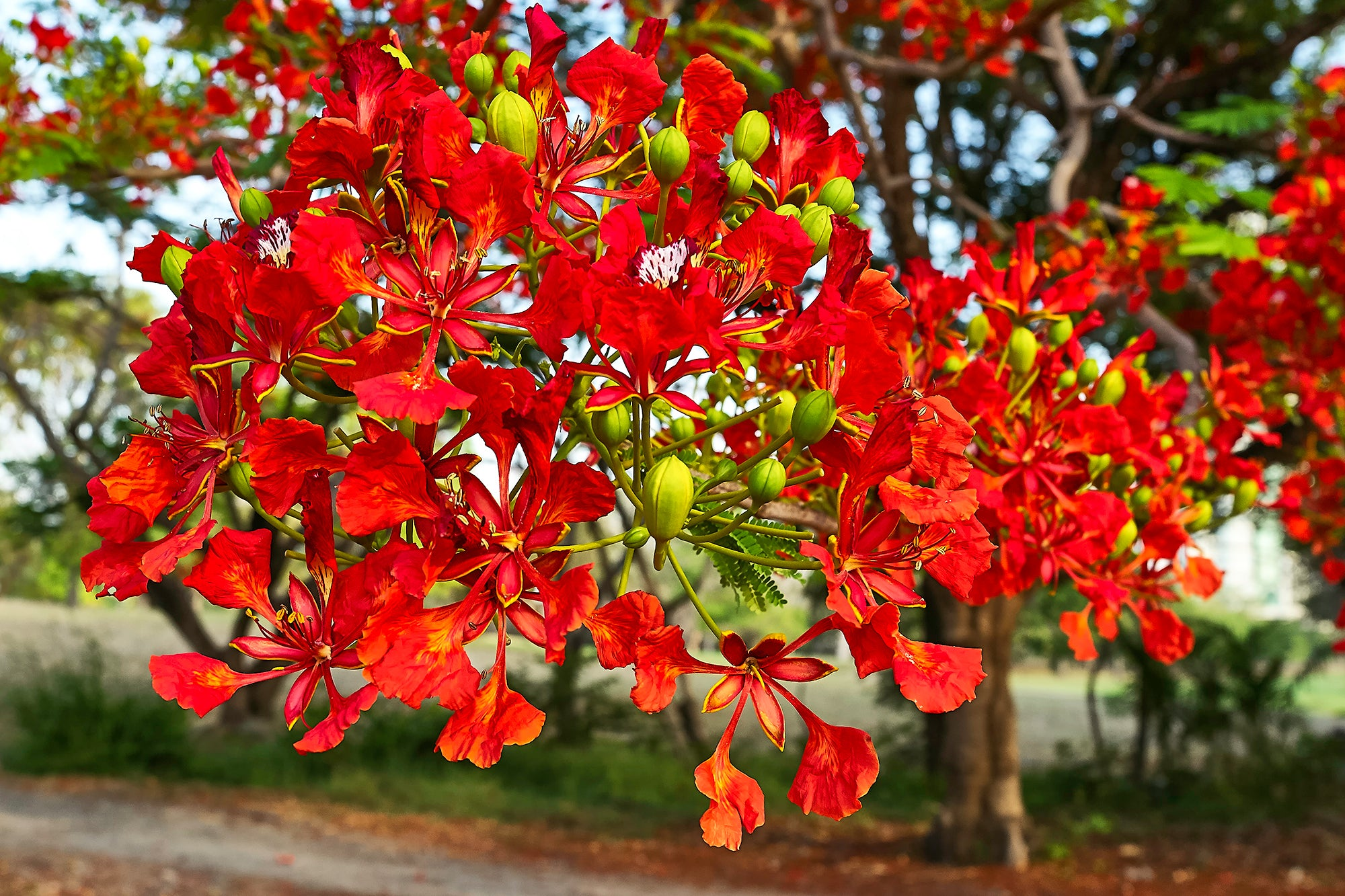 Royal Poinciana Spray