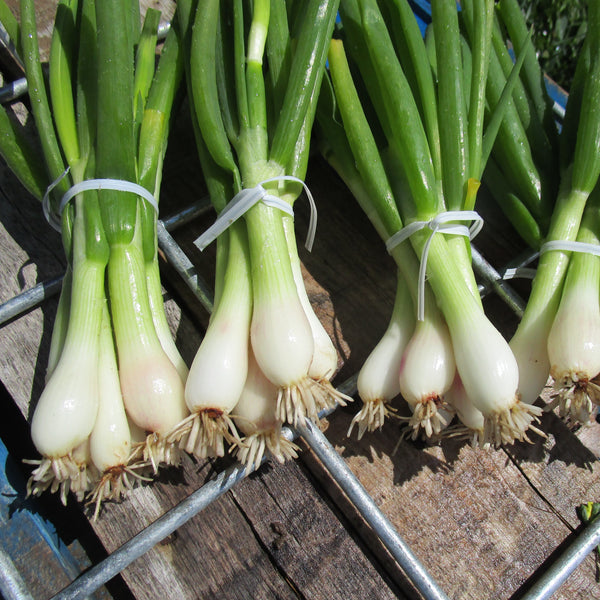 CCP Onions, Green - bunch