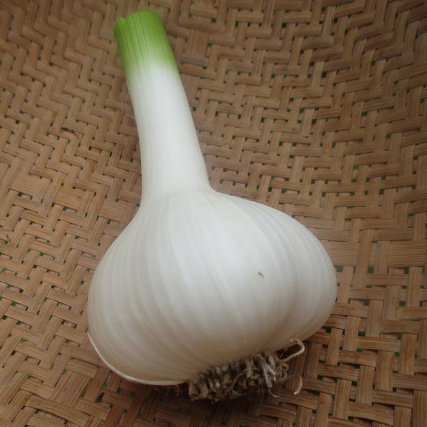 CCP Garlic, cured