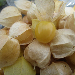 CCP Ground Cherry (Husk Tomato)
