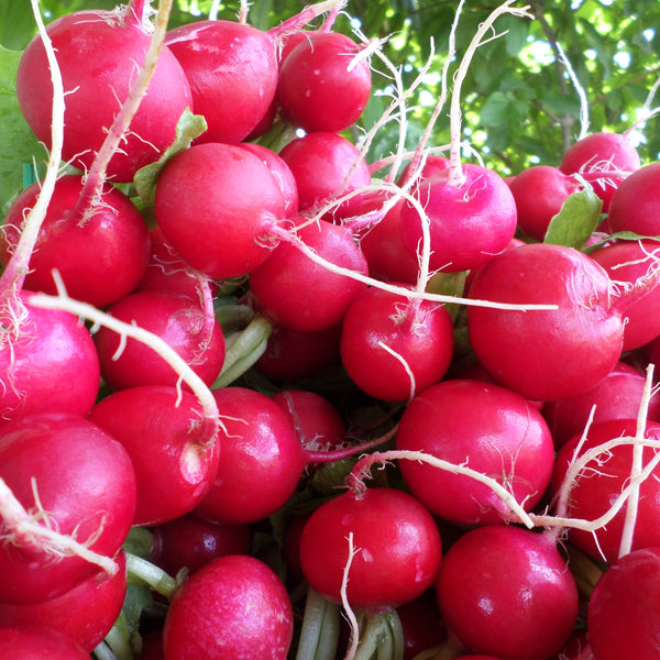 CCP Radishes, bunch