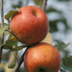 PKO Apples - Connell Red Fireside, 5 lbs