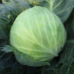 CCP Cabbage, each