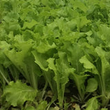 RRF Salad Mix