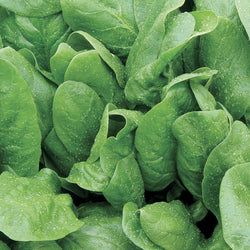 RRF Spinach