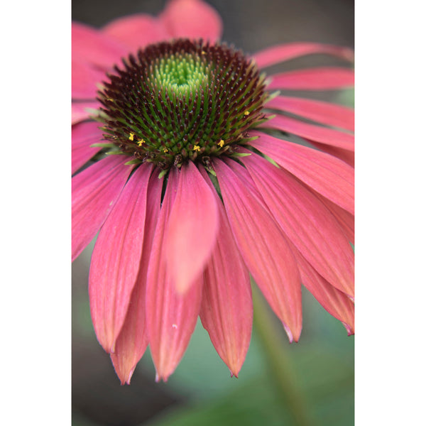 Coneflower Series