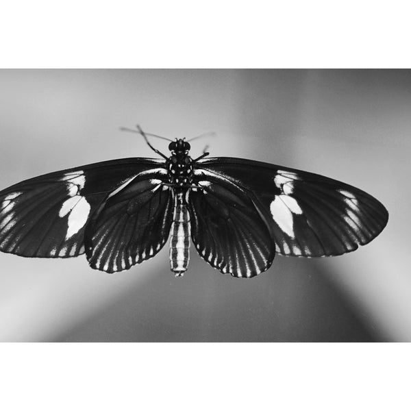 Butterfly in Black