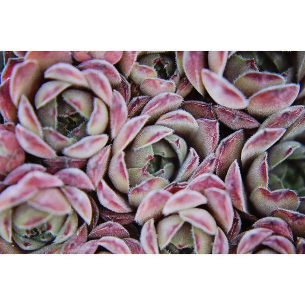 Blushing Succulents
