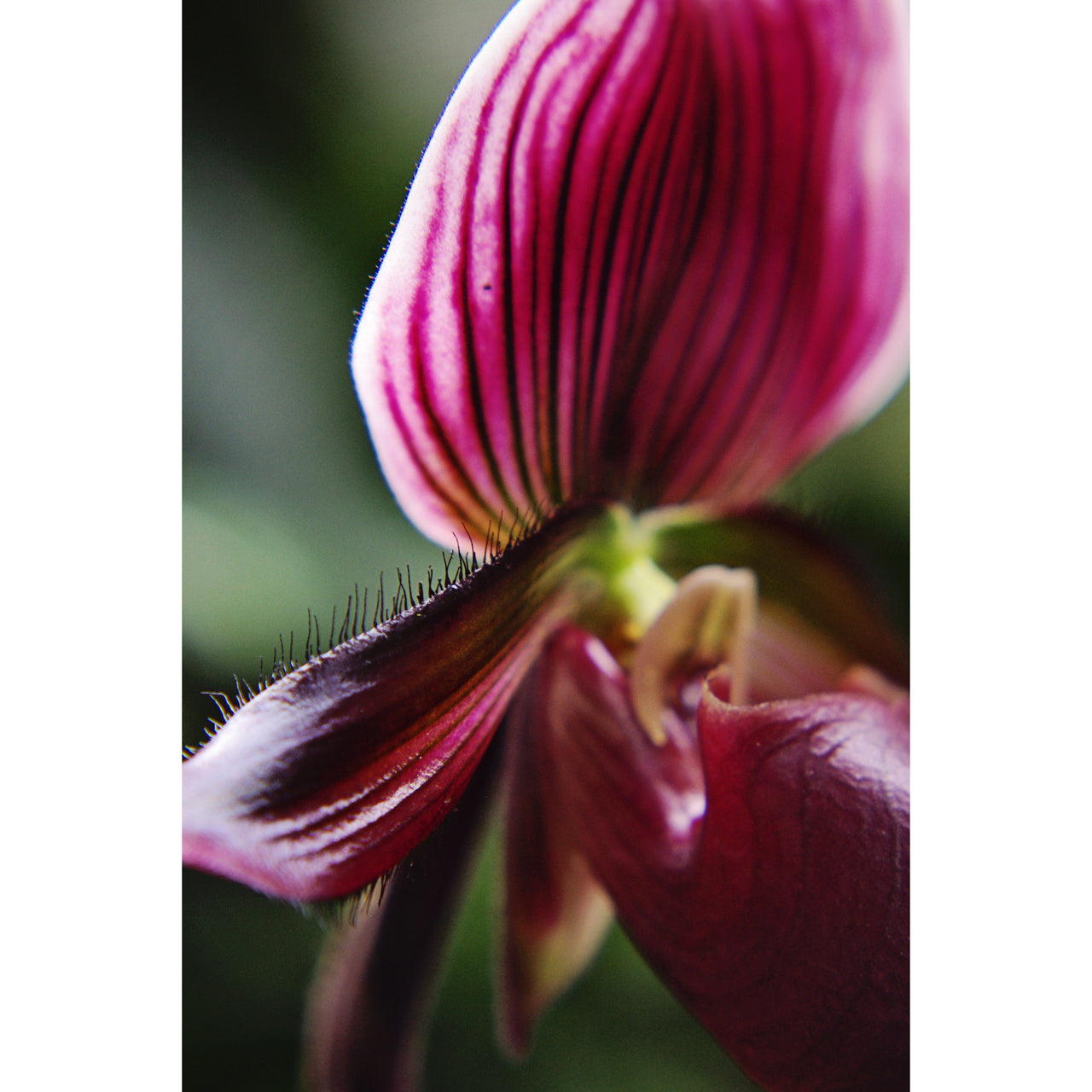 Red Lady Slipper