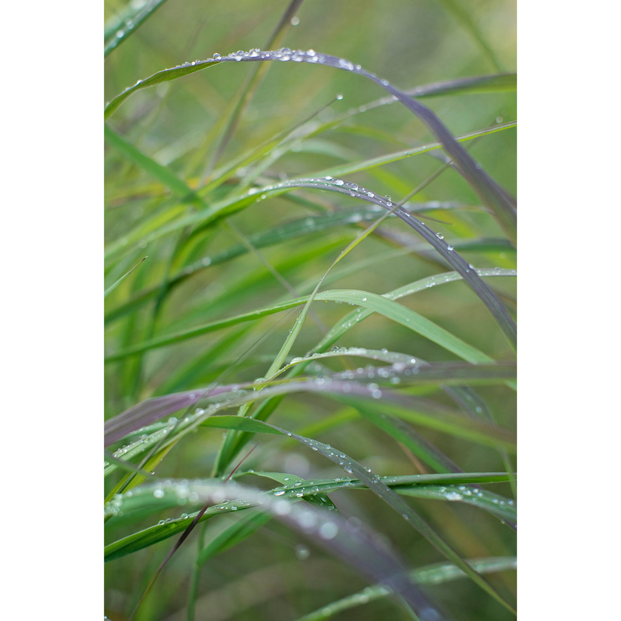 Grass and Dew Vertical