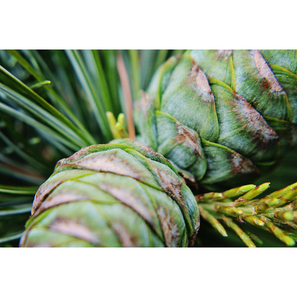 Young Pinecones