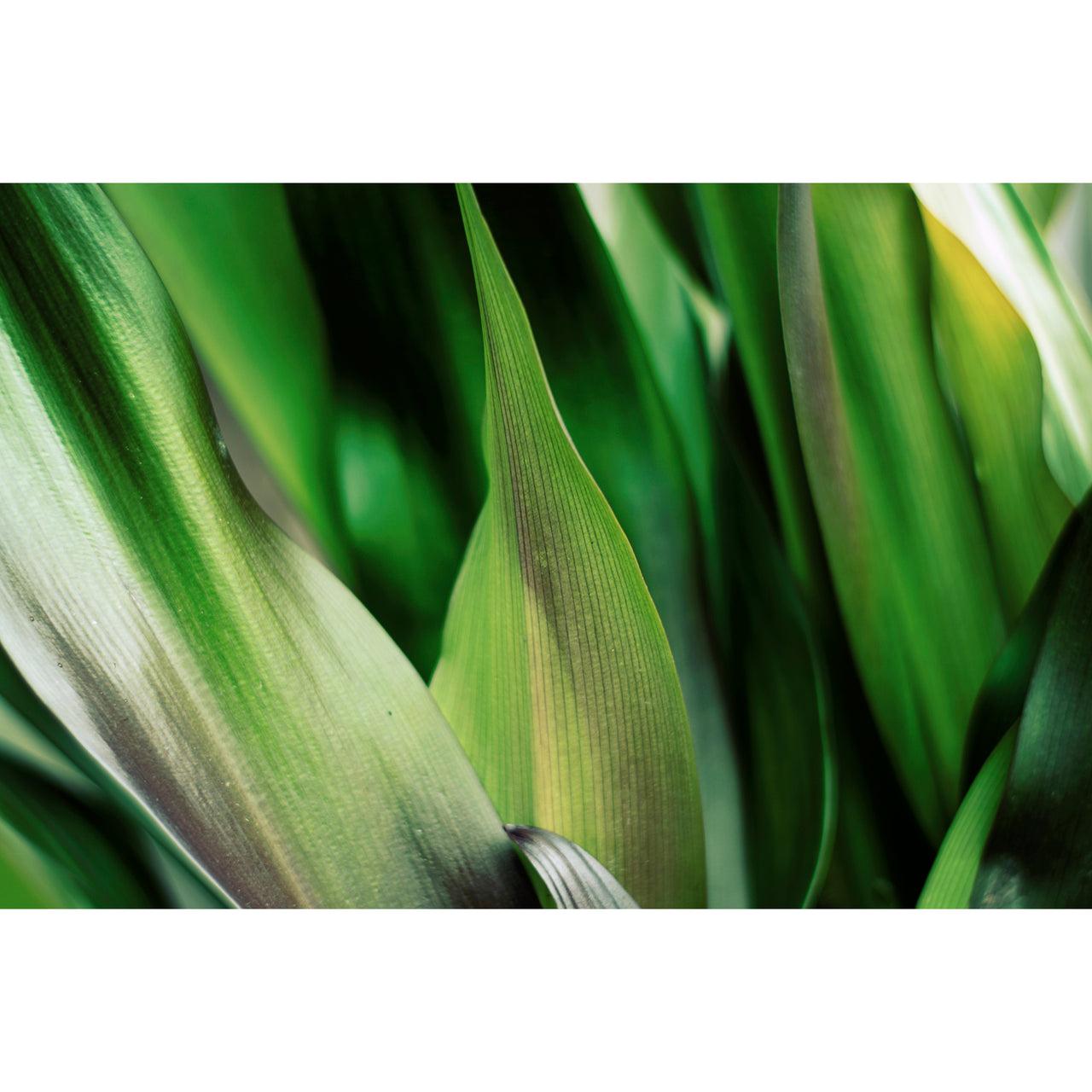 Crinum Lily Leaves