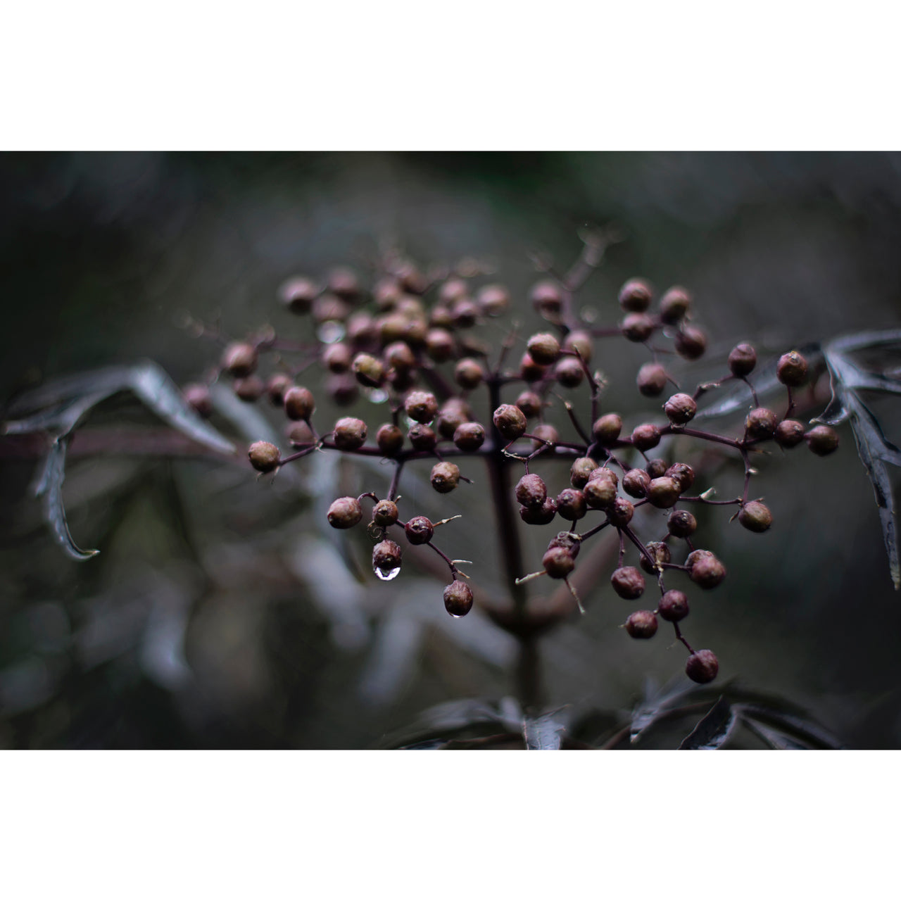 Dark Elderberry Lace