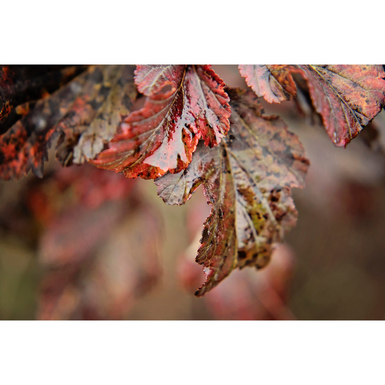 Autumn Ninebark Two