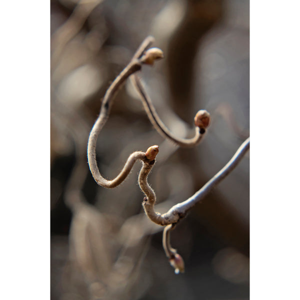 Corkscrew Hazel Five