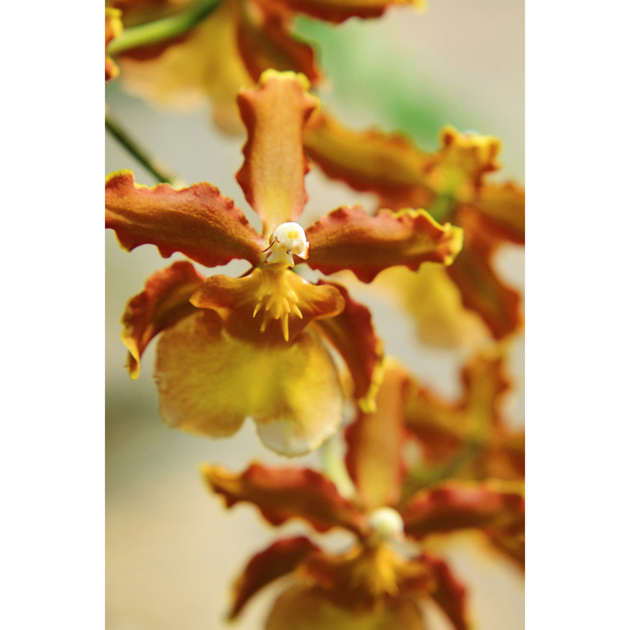 Oncidium Dance