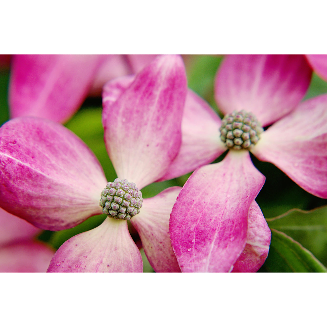 Pacific Pink Dogwood