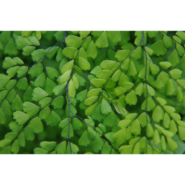 Maidenhair Pattern