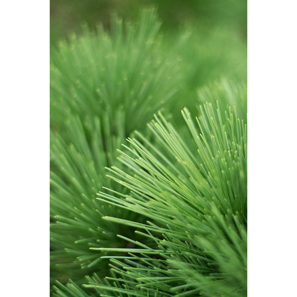 Pine Needle Layers
