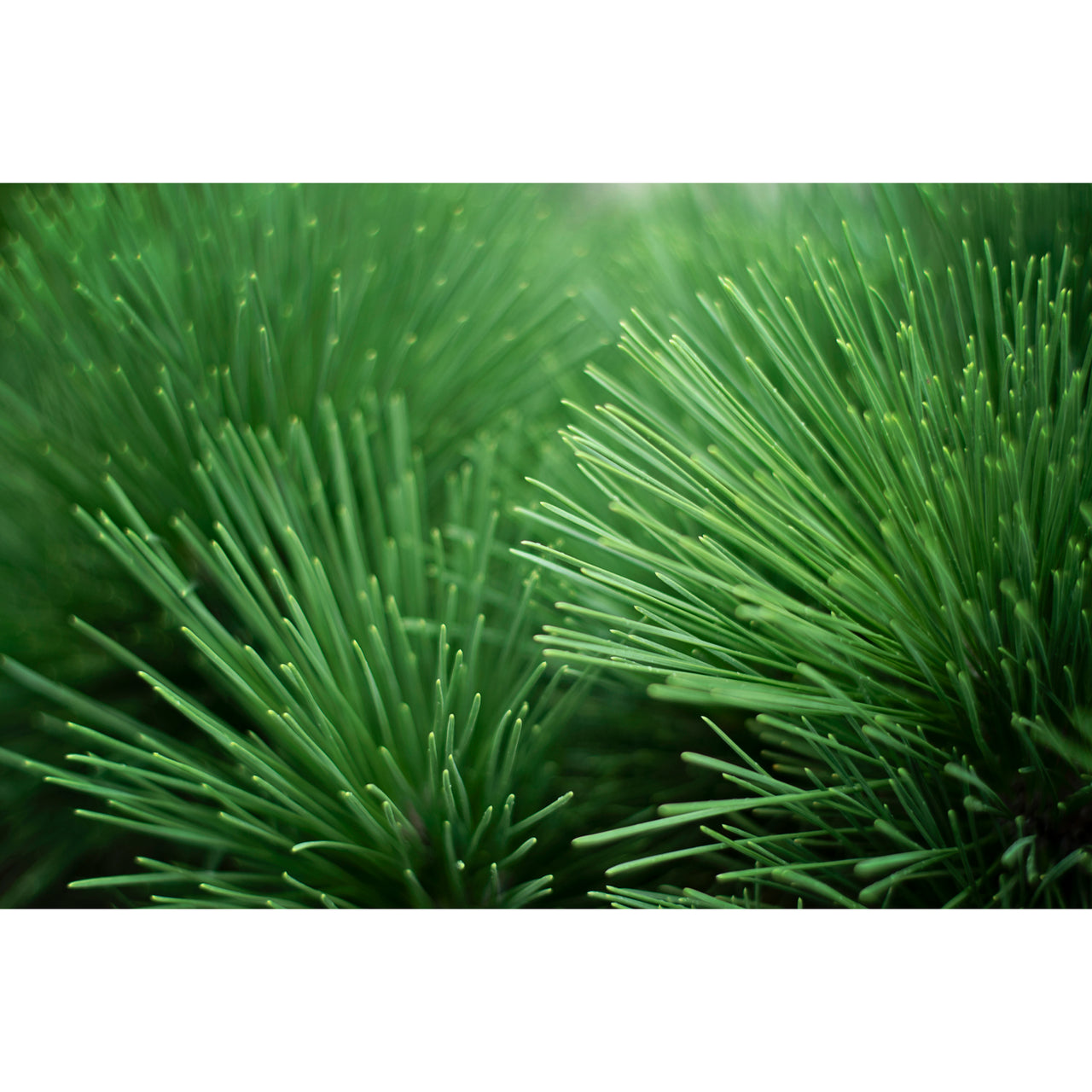 Pine Needle Layers Two