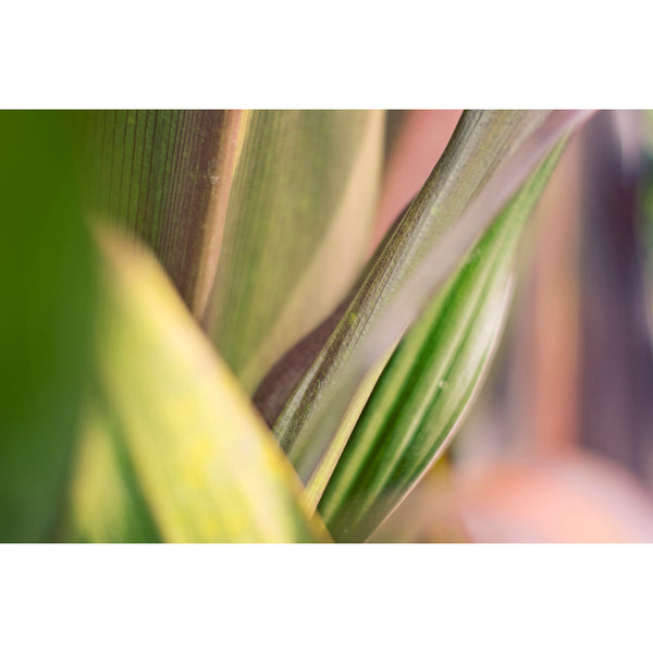 Crinum Blush Four