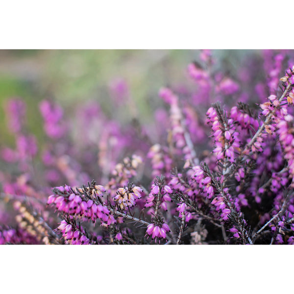 Calluna Three
