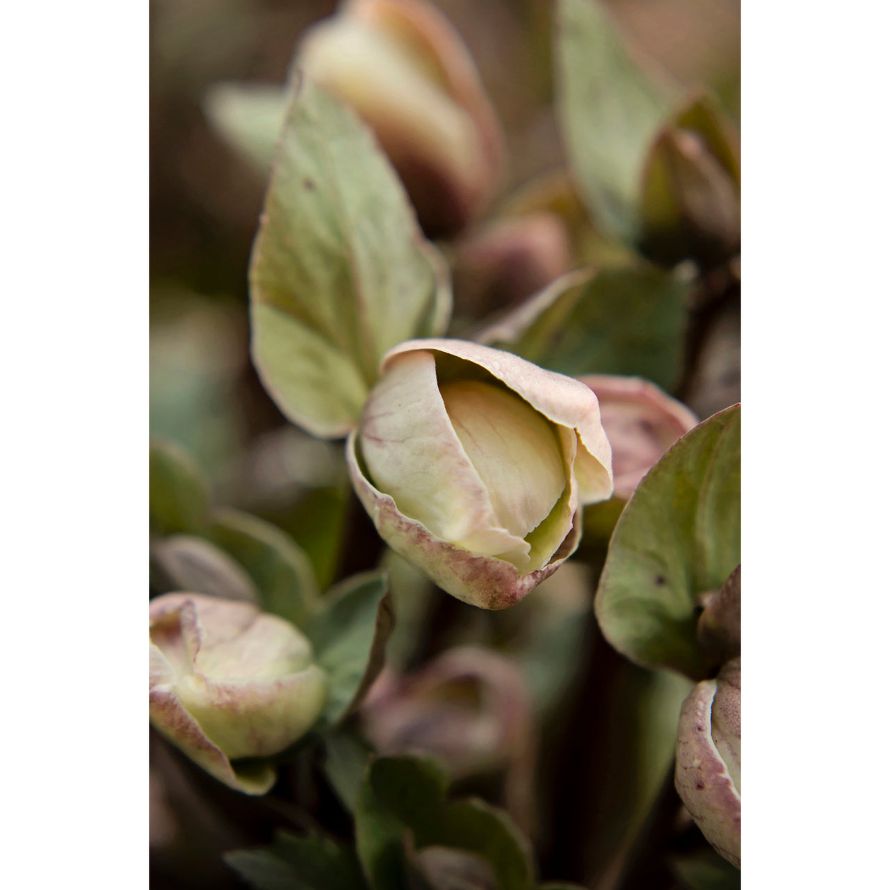 Lenten Roses Three