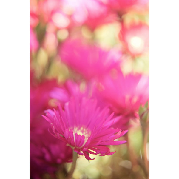 African Pink Daisies